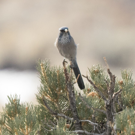 Woodhouse`s  Jay