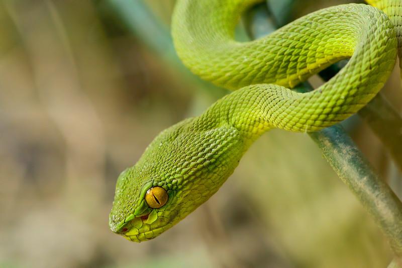 Ret-tailed-Bamboo-pitviper.jpg