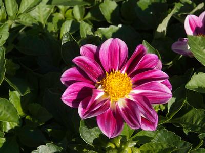 Dahlia - Goldalia Rose Bicolor