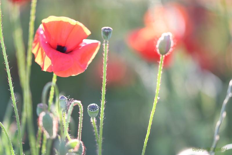 Poppys_Morges_08062019 (59).JPG