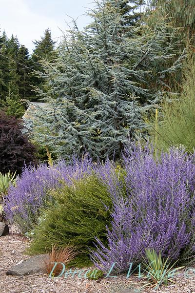 Perovskia atriplicifolia 'Lisslitt' Lacey Blue_1249.jpg