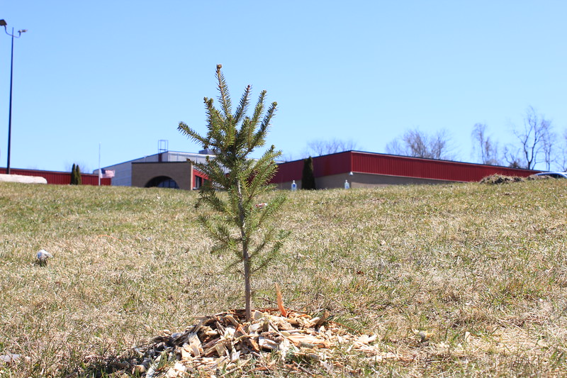 Charles Pritchard - Oneida Daily Dispatch One of the first trees planted for Earth Day by Oneida Rotary outside of the YMCA on Sunday, April 22, 2018.