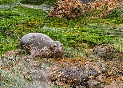 Harbor Seals 2021