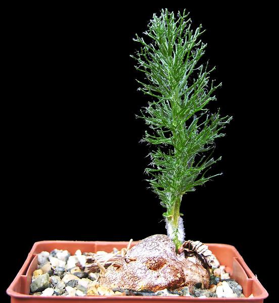 Eriospermum paradoxum2.jpg