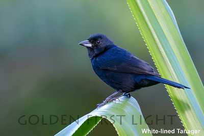 White-lined Tanager, Trinidad & Tobago
