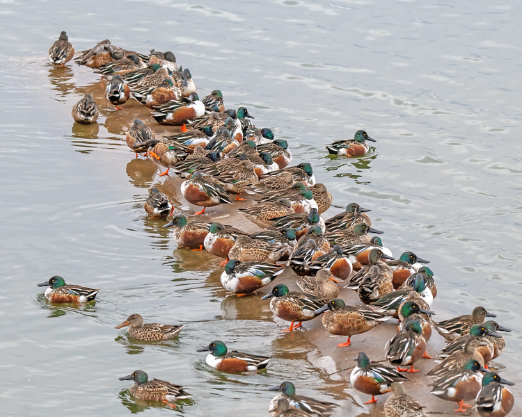 Norther Shoveler Ducks