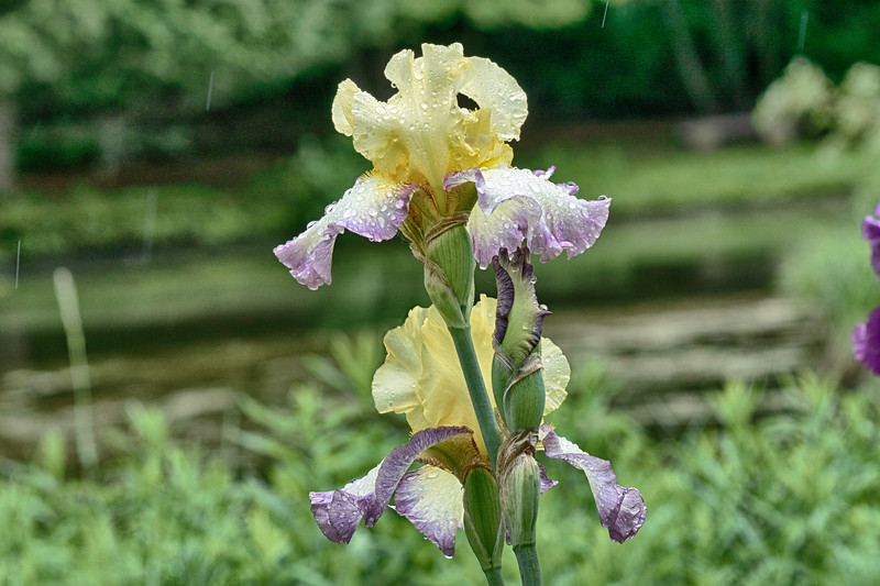 Iris 2 Arboretum.jpg