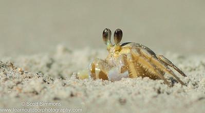 Crabs and Crayfish (Malacostraca)