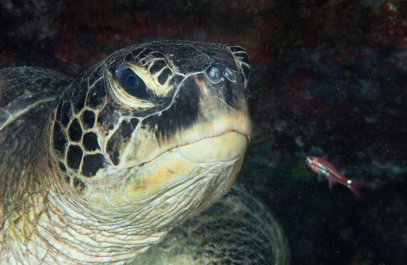 On a night dive, I woke up a sleeping 5-foot green turtle. Raja Ampat, Indonesia.