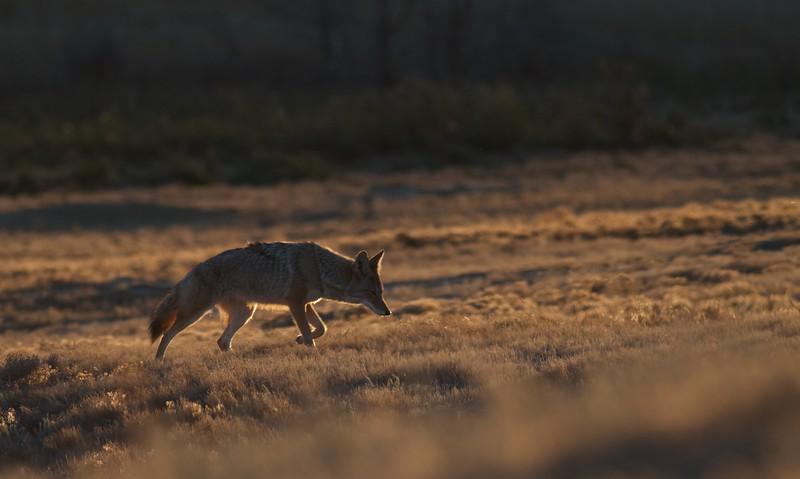 Coyote Teddy Roosevelt National Park ND IMG_5795.jpg