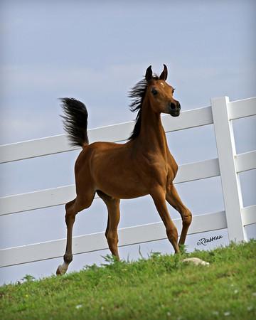 Arabian & Half_Arabian Foals
