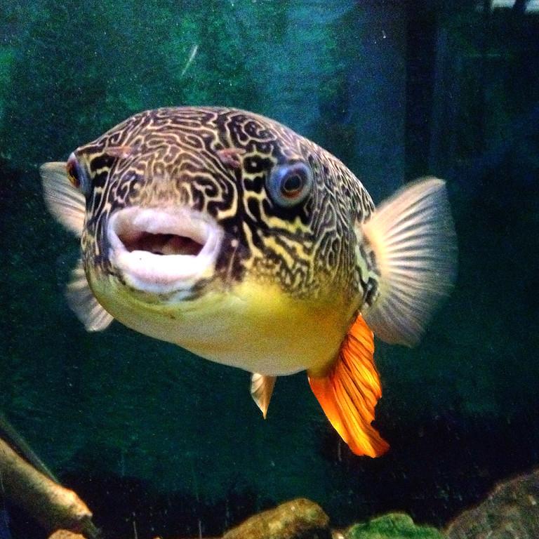 . Otis the pufferfish at Belle Isle Aquarium in Detroit. (Holly Mahaffey/Digital First Media)