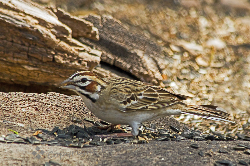Lark Sparrow ~ Photographed in central Texas.