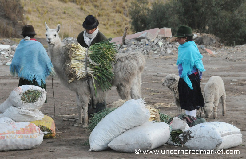 Llama Transport - Zumbahua, Ecuador