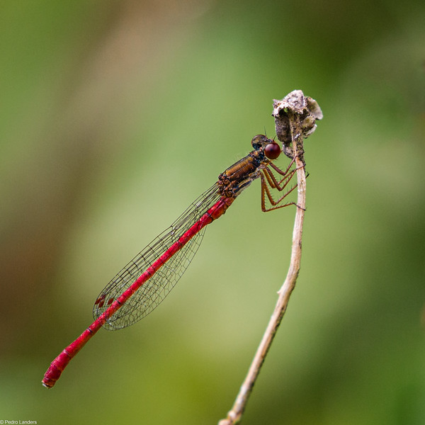 Small Red Damselfly