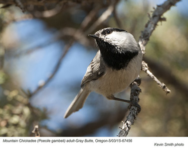 Mountain Chickadee A67456.jpg