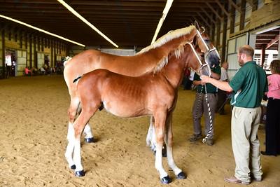 Belgian Mare & foal