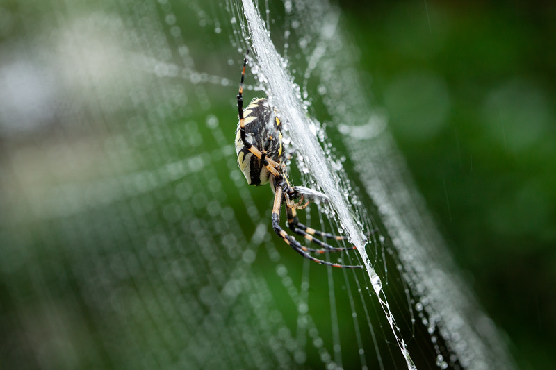 Orb weaver spider eating a moth