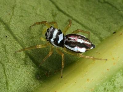 genus Phintella