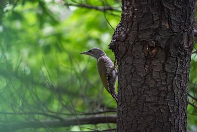 Gray-headed Woodpecker [Picus canus]
