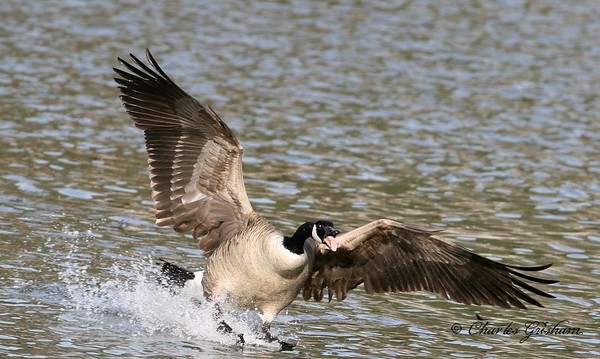 Canadian Geese in north Alabama