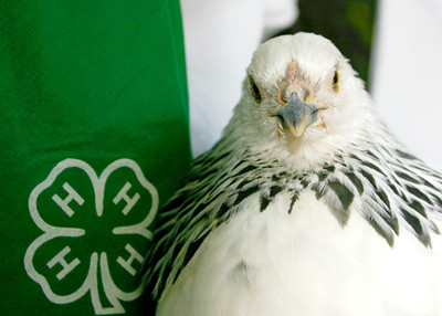 4-H'ers get ready for fair