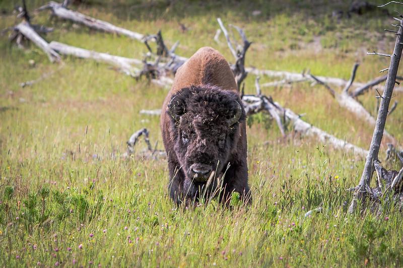 Bison staring contest