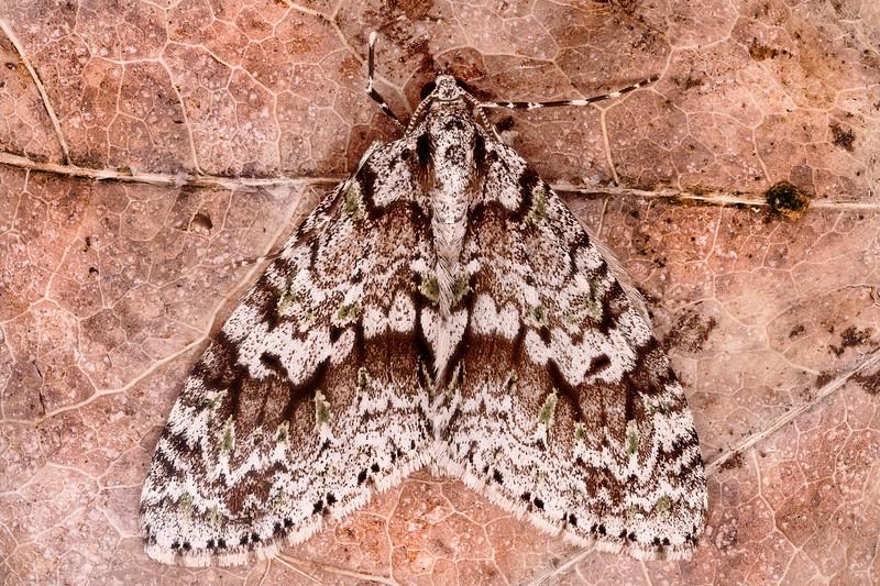 Mottled-gray Carpet Moth