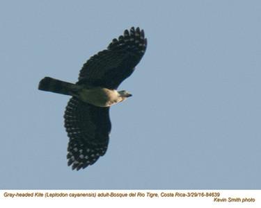 Gray-headed Kite A84639.jpg