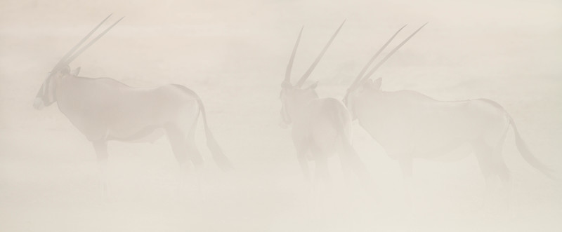 Gemsbok in sandstorm, Kalahari Desert