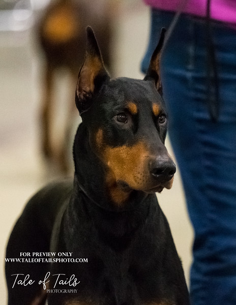 concord dobermans  (12 of 186).jpg