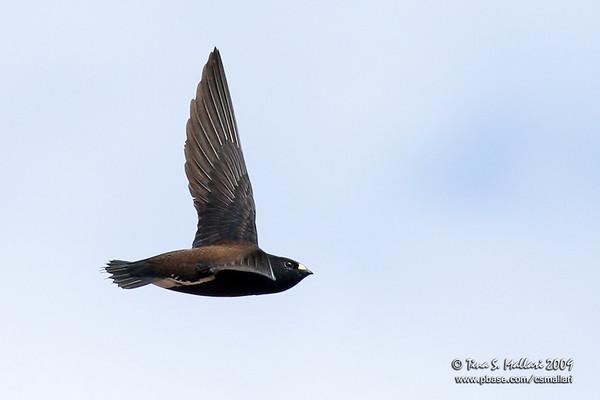 Swifts - Family: Apodidae