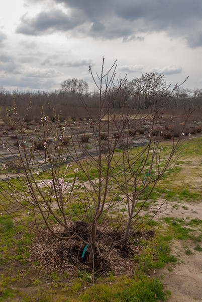 One Year Later - Peach Trees