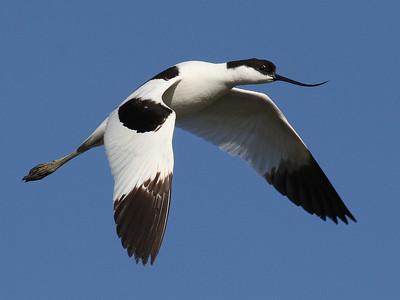 Avosetti (Recurvirostra avosetta)