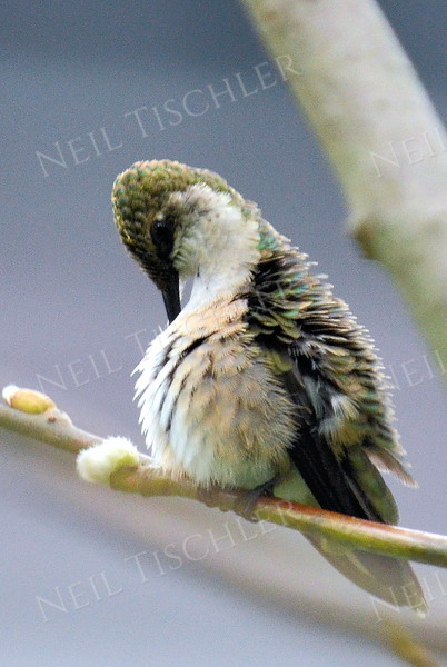 #1074  Here, a ruby-throated hummingbird preens itself.