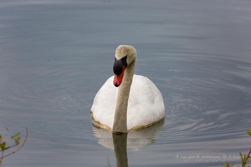 mute swan signed-46.JPG