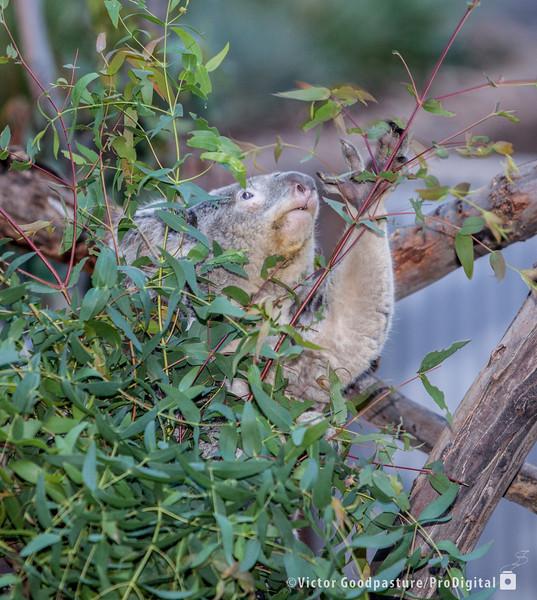 Koalafornia-11.jpg