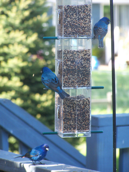 Indigo Buntings, 27 May 2008