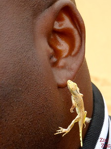 Tommy living desert tour: gecko as earing