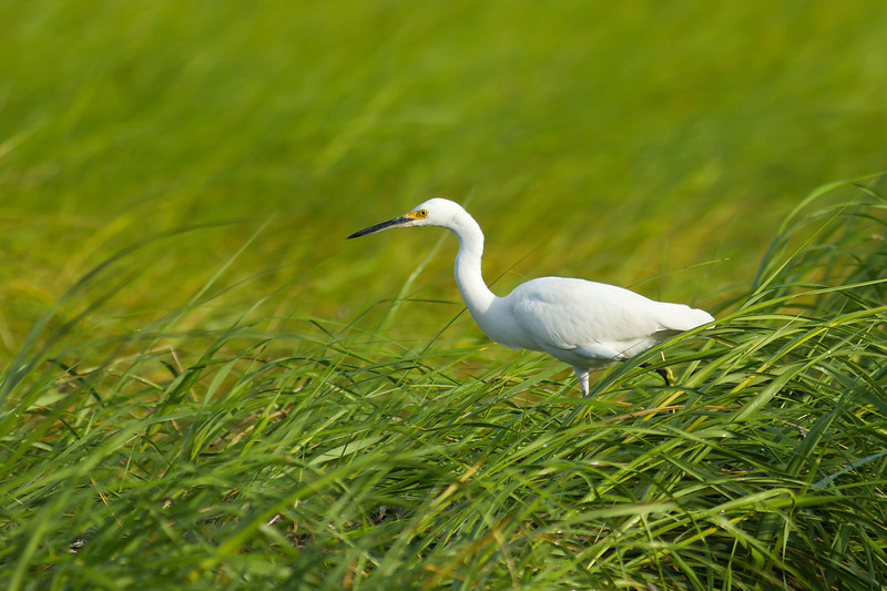 Great Egret - Wades through the seagrasses