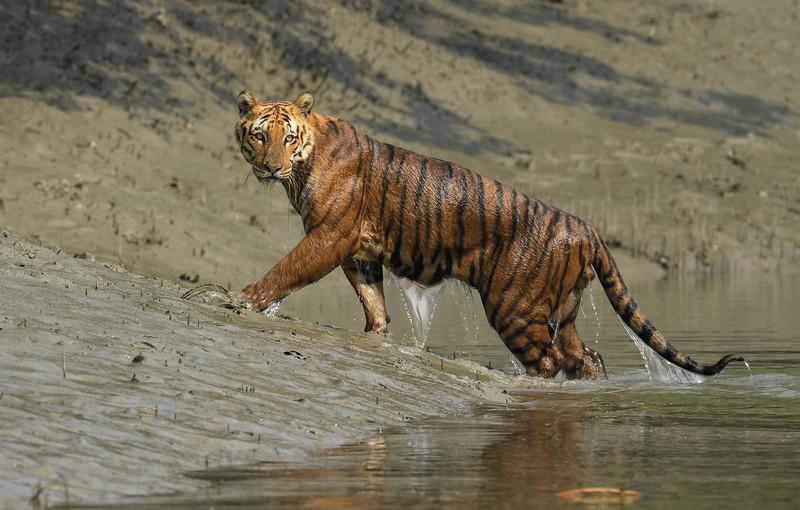 Tiger-Sundarbans-the-stare.jpg