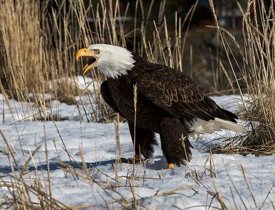EAGLES OF ALASKA - 2020