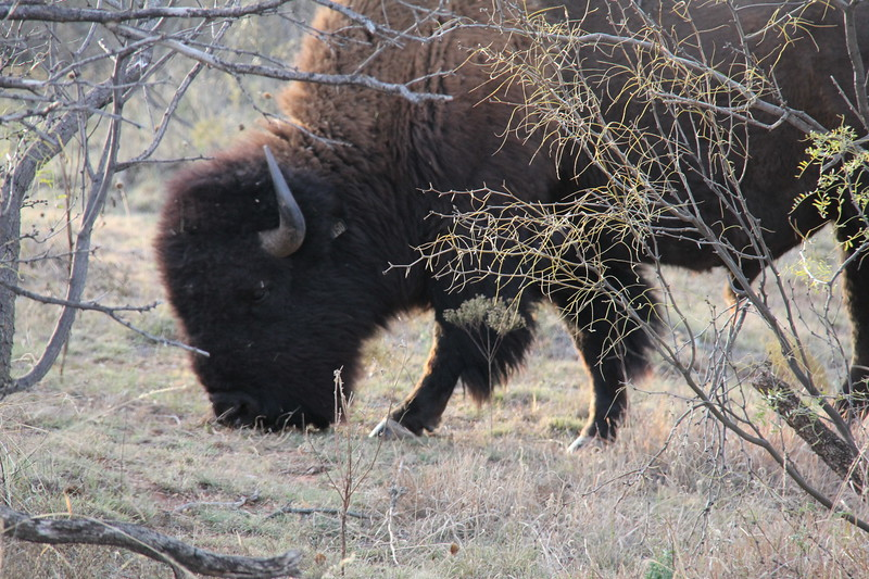 20171120-028 - Texas - Caprock Canyons SP - Buffalo.JPG