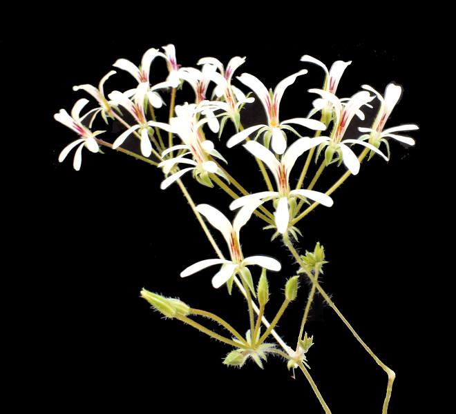 Pelargonium fissifolium 2021-05-06.jpg