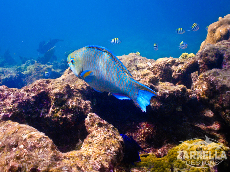 """Parrotfish"" (Key West, Florida)"