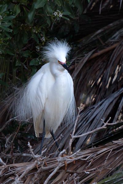 Snowy Egret Newark, California 1304N-SE16
