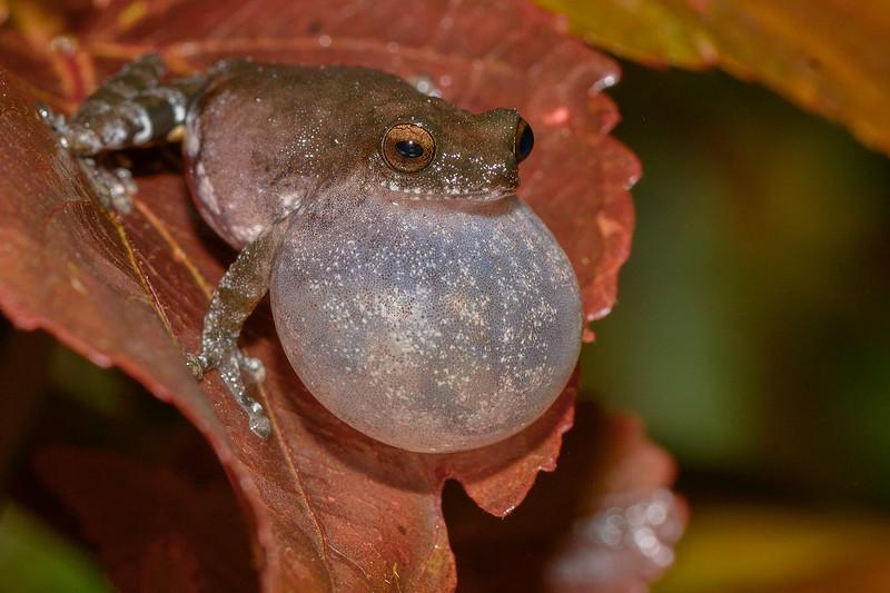 Bombay-bush-frog.jpg