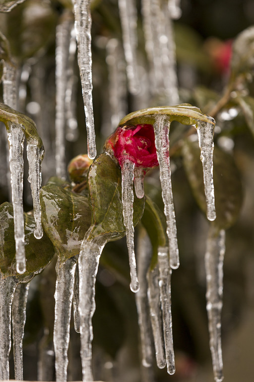 . Icicles hang from a camellia shrub after a rare ice storm blanked the normally warm historic city on January 29, 2014 in Charleston, South Carolina. The storm closed bridges and roads as a winter weather blanketed the region.   (Photo by Richard Ellis/Getty Images)