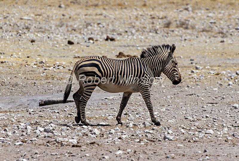 Zebras - Hartmann's Mountain