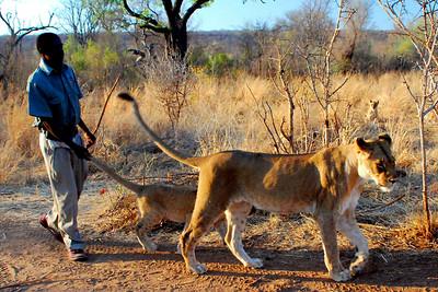WALKING WITH LIONS ZIMBABWE, OCT 23, 2007
